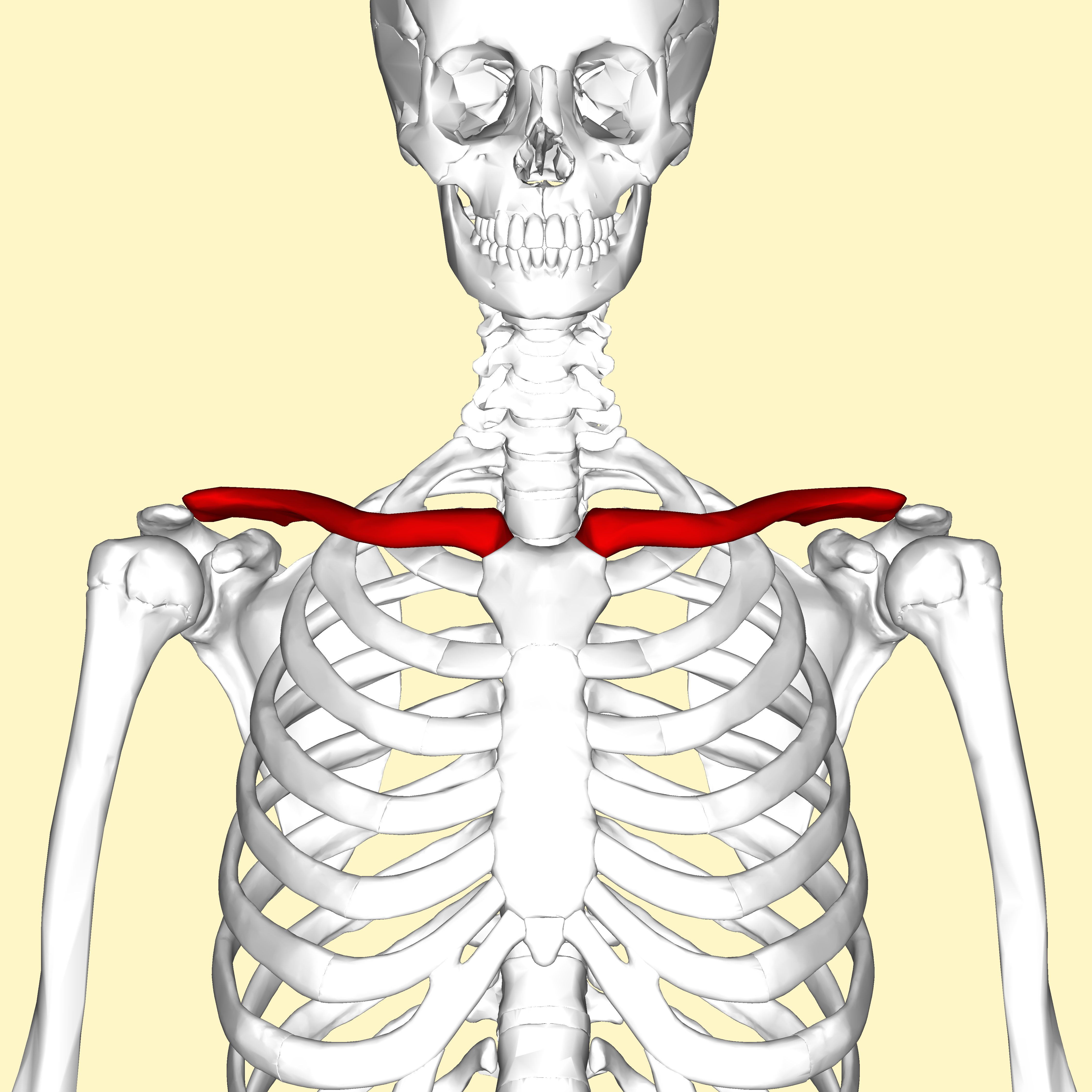 Chest Anatomical Training Guide | GuideScroll